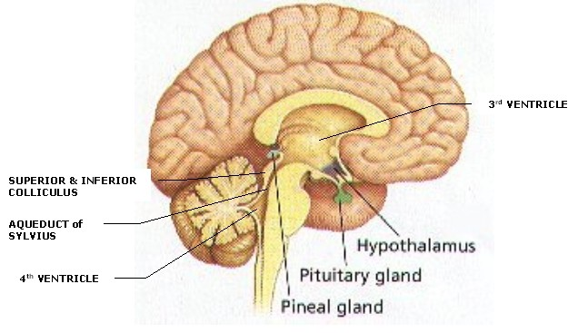 While rare, Pineal Gland Tumors and Pineal Region Tumors account for less
